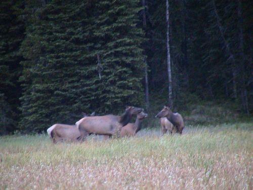 50e-elk-grazing-500